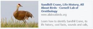 Cornell Lab Sandhill Crane