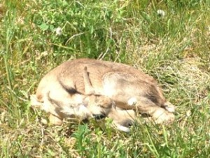 Baby Pronghorn 1